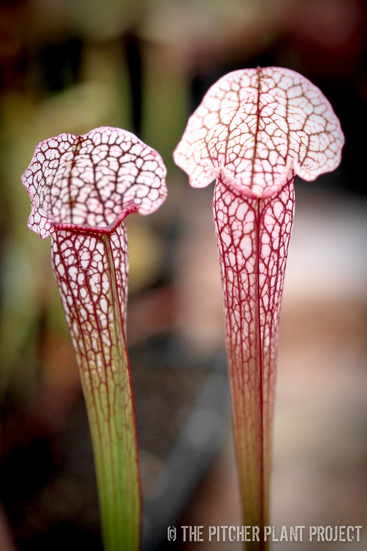 "Sarracenia (leucophylla ""red"" x minor var. okefenokeensis) x 'Bugscoop'"
