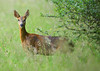 Watchful Roe Deer