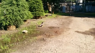 Hawk on ground
