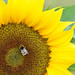 Bee visits sunflower by Monceau