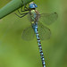 Southern migrant hawker dragonfly by Neil Phillips