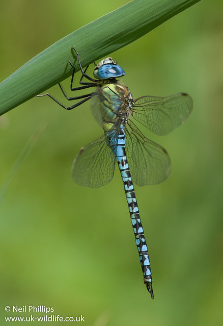 Southern migrant hawker dragonfly