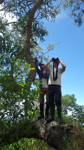 Banding volunteers Zach Pezzillo and Jason Preble looking at a bird nest high up in a native Koa Tree in Nakula Natural Area Reserve.