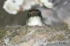 Moucherolle phébi au nid / Eastern Phoebe at nest