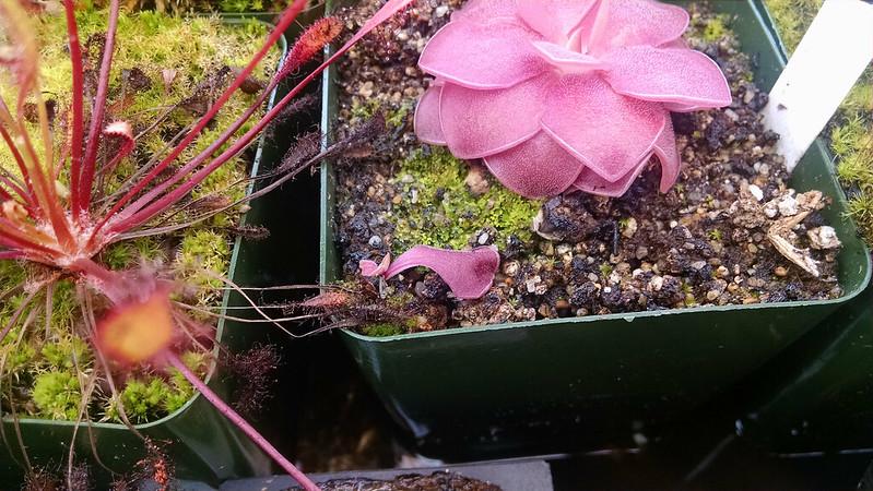 Pinguicula agnata leaf pull.