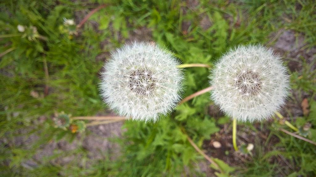 10.53.08: Dandelions