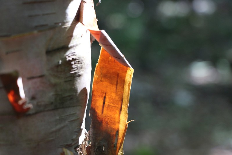 Birchbark lit by morning light