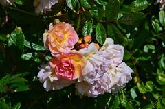 rosa wichuraiana, garden roses, rosa 㗠centifolia, floribunda, flower, plant, flora, petal,