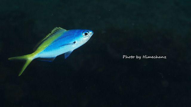 ユメウメイロの幼魚