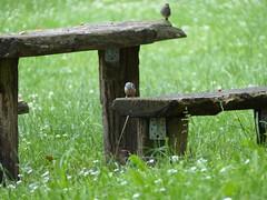 Vögel auf der Festung Hohentwiel
