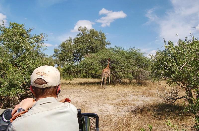 Spotting giraffes