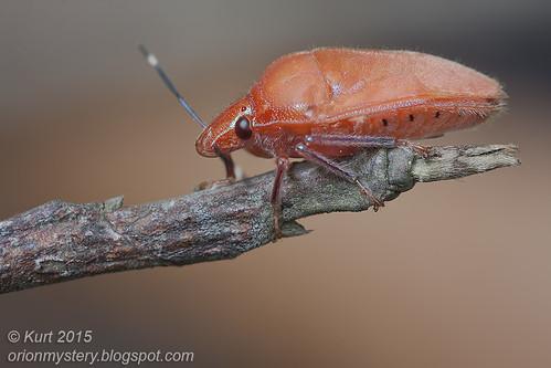 shield bug IMG_6473 copy