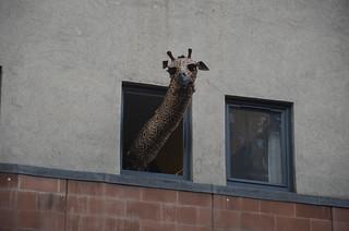 Geoffrey Giraffe Photocall