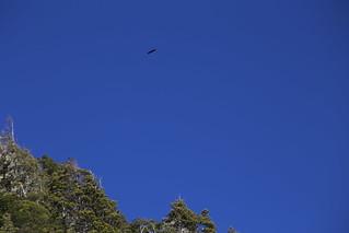 Condor.  Colonia Suiza.  Argentina.