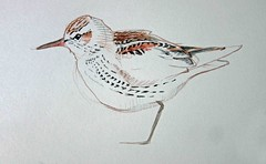 White-rumped Sandpiper painting (2)