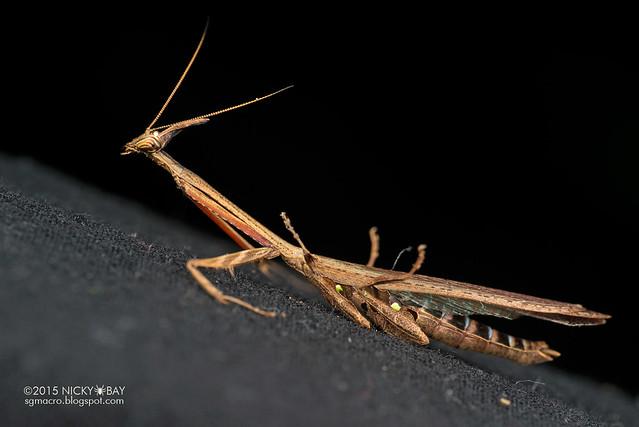 Bark horned mantis (Ceratocrania sp.) - DSC_4105