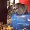 Such a cute and sad looking chinchilla! :blue_heart::blue_heart::blue_heart: #petshop #canihaz #losangeles #tw