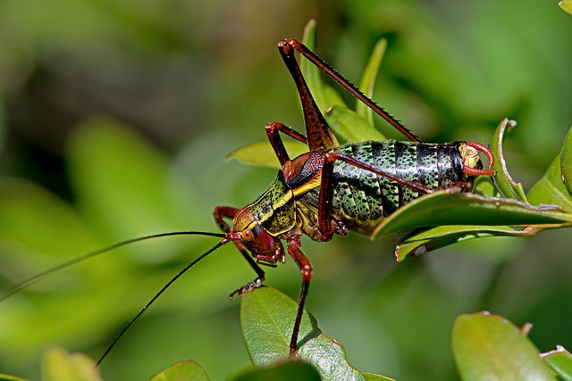 Barbitistes obtusus - the Southern Saw-tailed Bush-cricket (male)