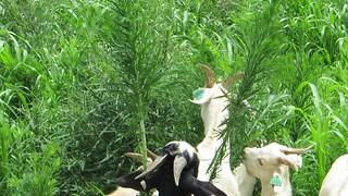 Test goats
