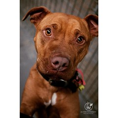 Not only does she have to compete with all the other equally beautiful urgent dogs at Renbury this week, but gorgeous Katolina also has the added burden of council requiring a breed and temp assessment before she can be released to rescue or adoption. I