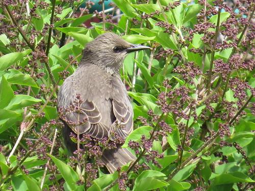 baby-starlings-june-16 010