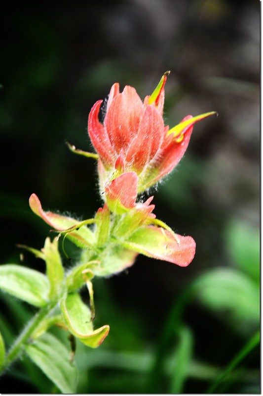 Indian paintbrush flower 1