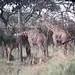 Masai giraffes Akagera NP in Rwanda