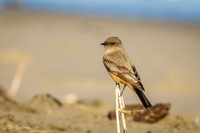 Say's Phoebe at the beach