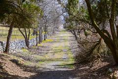 Winter Aconite at the State Arboretum of Virginia