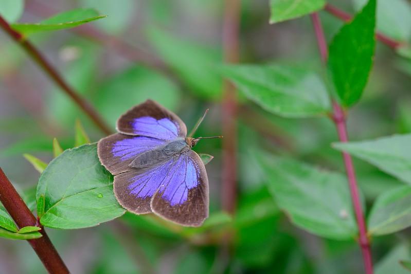 Narathura japonica / Japanese Oakblue