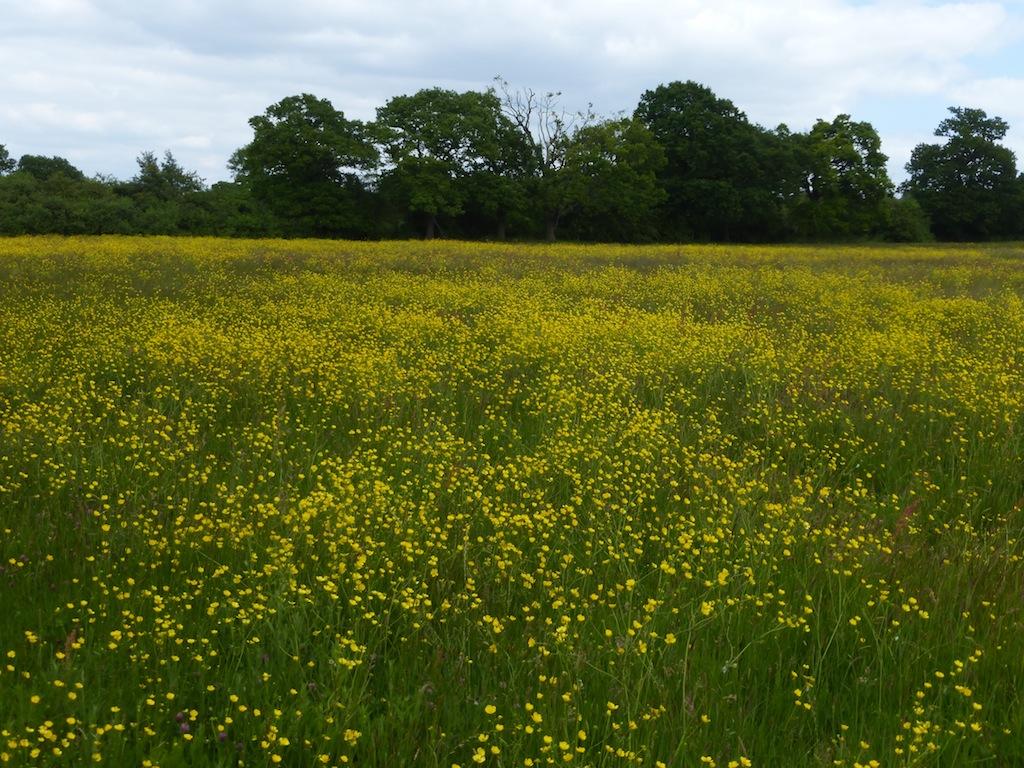 Buttercups after lunch, June Totteridge Circular walk
