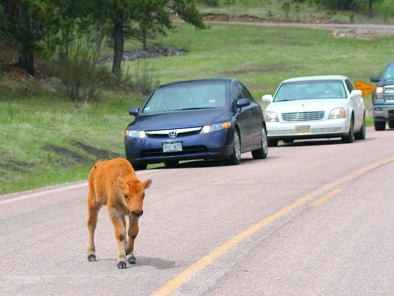 IMG_9951 Bison Calf Crossing