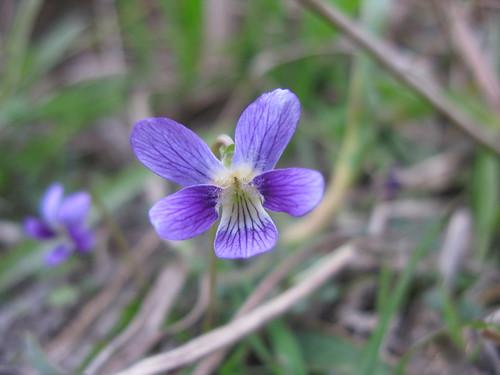 Viola betonicifolia flower3