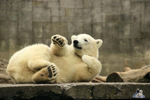 Eisbär Fiete im Zoo Rostock 11.07.2015  0110