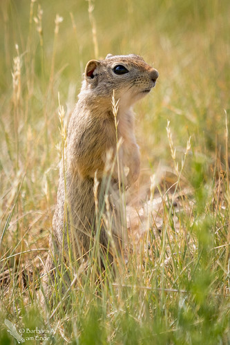 cute standing rodent us colorado unitedstates july walden northpark 2015 wyominggroundsquirrel arapahonwr urocitelluselegans