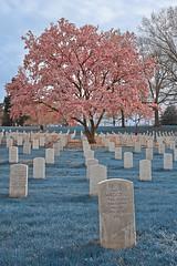 Sapphire Cherry Blossom Cemetery