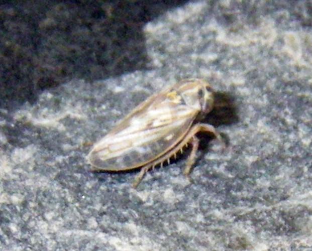 Anaceratagallia ribauti 19577334985_fbb696c55c_o