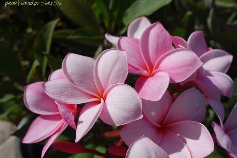 pink_plumeria_macro_web