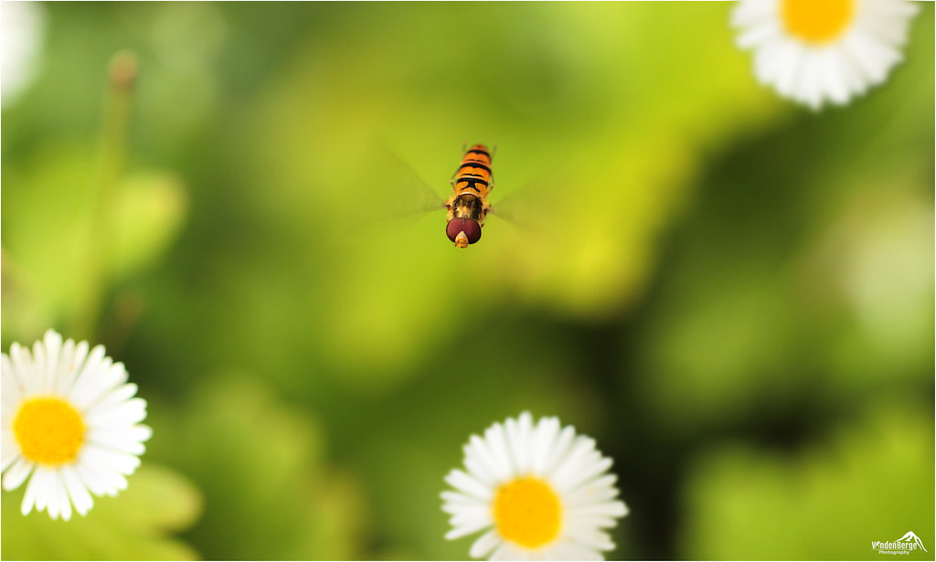 Hoverfly between the Daisies