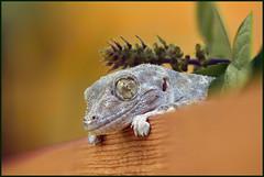 Gecko 1# מניפנית מצויה