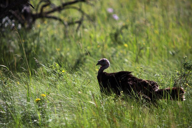 2015 8 9 - Wild Turkey - 9S3A6322