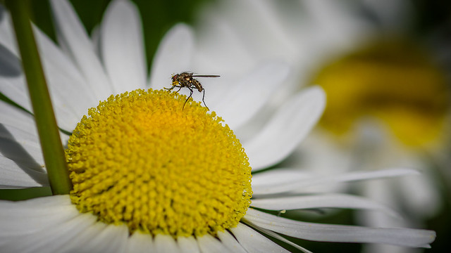 Mosquito on the flower, Pentax K-5 II, smc PENTAX-FA Macro 100mm F2.8