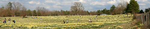 flowers panorama festival lenstagged daffodil arkansas wye wyemountain canon28135f3556