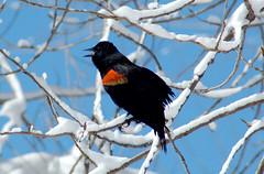 Red-wing Blackbird (agelaius phoenicus)