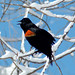 Small photo of Red-wing Blackbird (agelaius phoenicus)