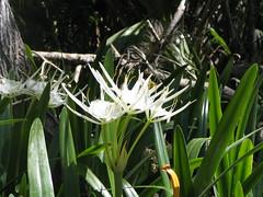 grass(0.0), hymenocallis(1.0), flower(1.0), hymenocallis littoralis(1.0), plant(1.0), nature(1.0), wildflower(1.0), flora(1.0), green(1.0),