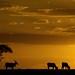 Eland - Masai Mara sunset by @Mark_Eveleigh