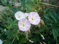 pinkladies(0.0), annual plant(1.0), ipomoea violacea(1.0), flower(1.0), ipomoea alba(1.0), wildflower(1.0), flora(1.0), petal(1.0),