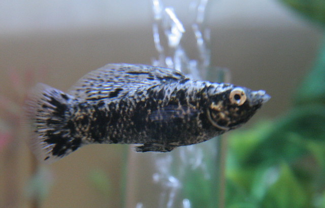 New tank resident - a marble molly (male) | Flickr - Photo ... | 500 x 321 jpeg 109kB