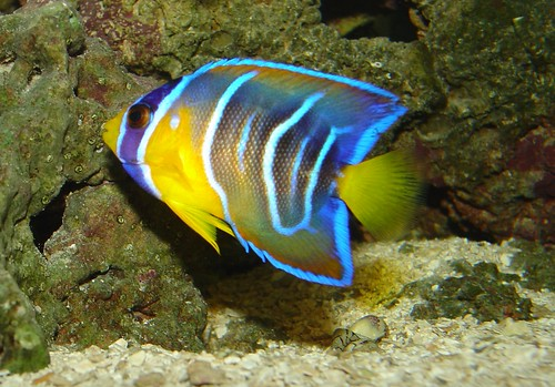 Queen angelfish Pomacanthidae (Angelfishes)
